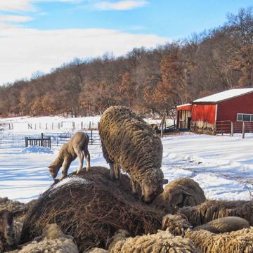 Sheep at the farm